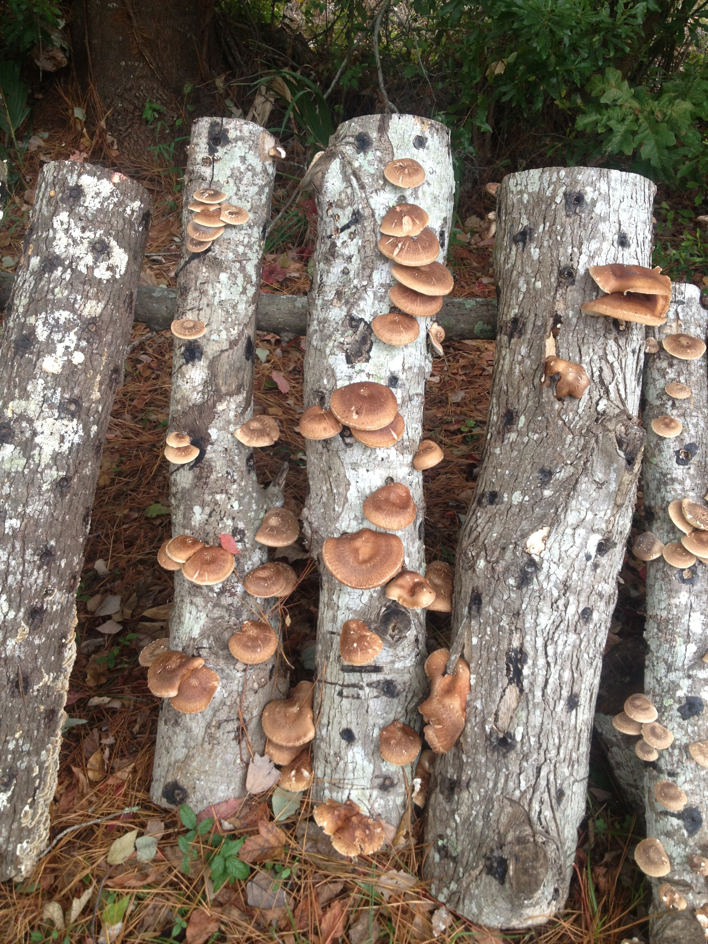 Mary Connor - mushroom log shitake.JPG