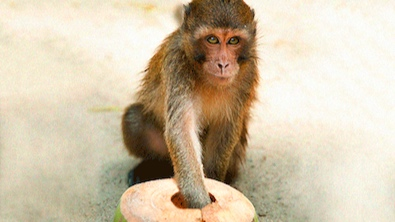 Actual Monkey Trap