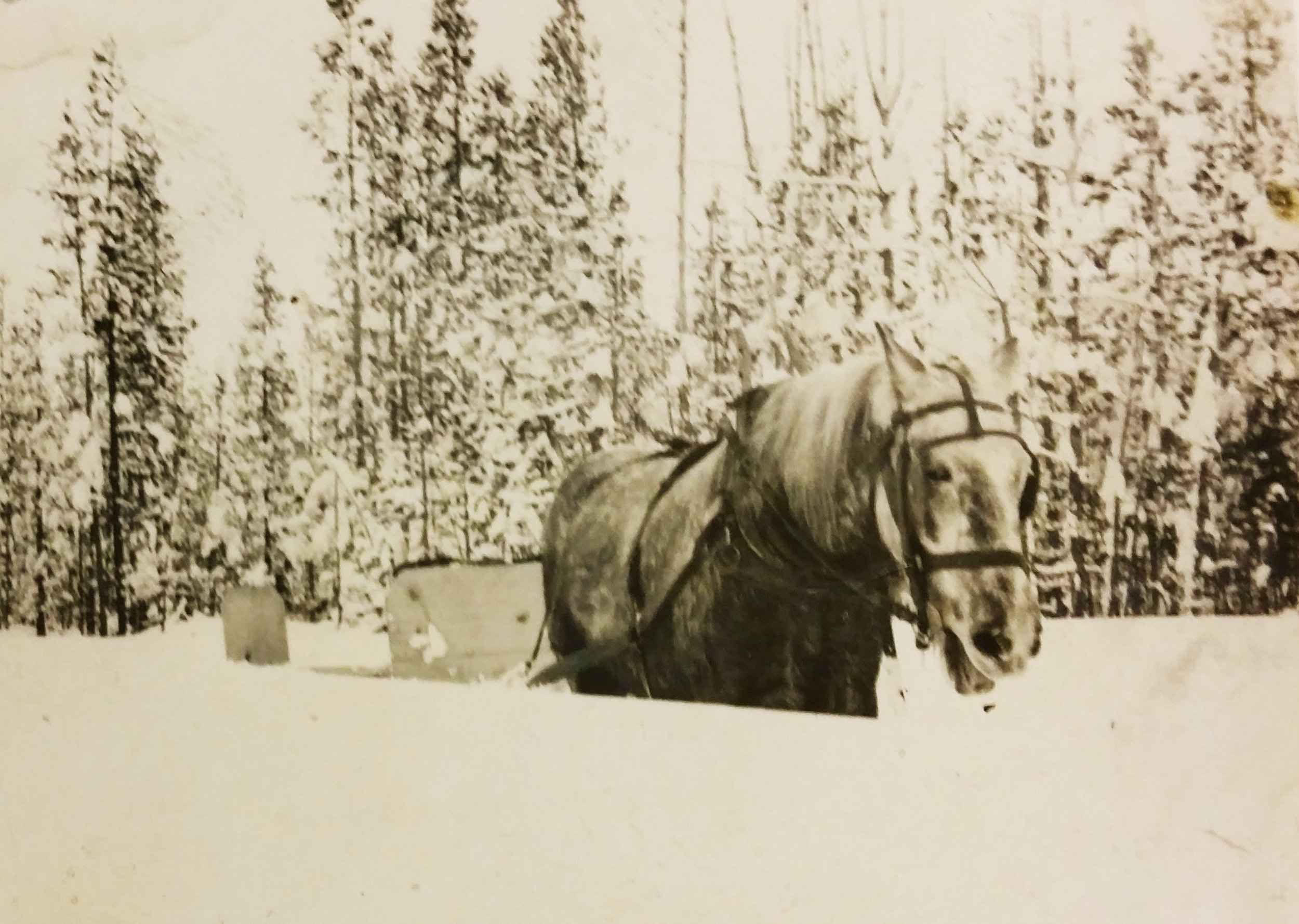 Horse making its way through deep snow. Yellowstone Historic Center Collections.