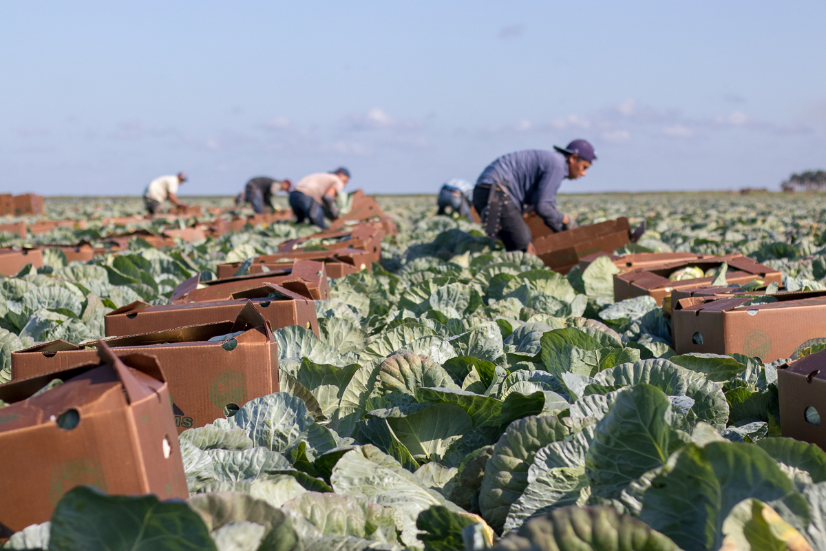 Farm Labor - Cabbage