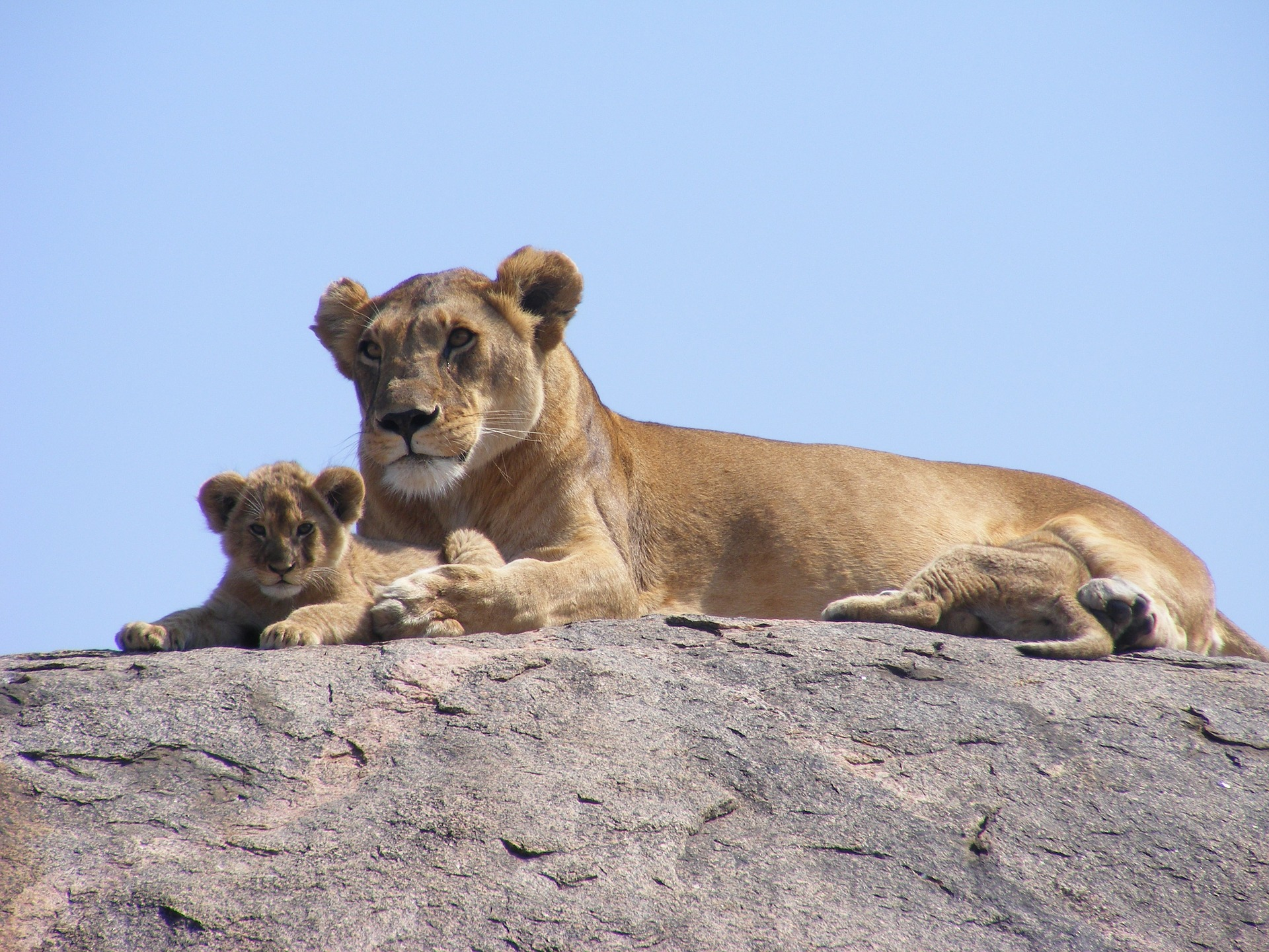 Lioness with cub. Melissa Rosenberger blog Lion of the Tribe of Judah