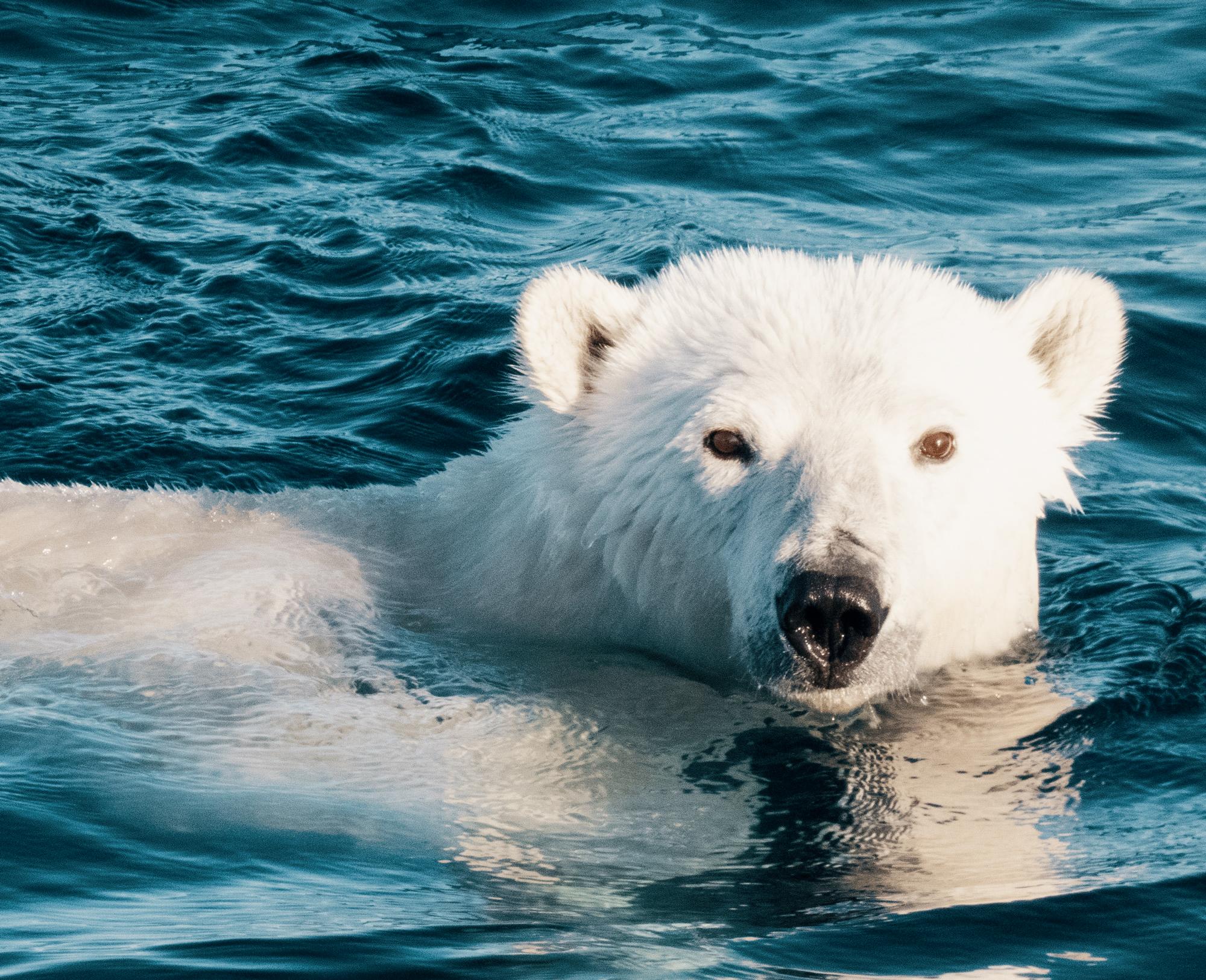 polar-bear2hi-1.jpg
