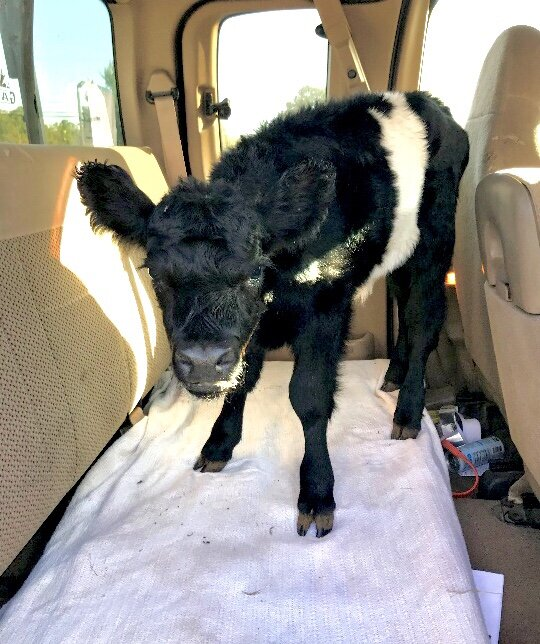 Just the other day I had a sick heifer (female) calf. I have been lucky since I never had a sick calf before. It's nearly impossible to find a farm vet anymore (and that's a very sad sign of the times we live in), so I had to load the calf up in the back seat of my farm truck and take her to the vet.