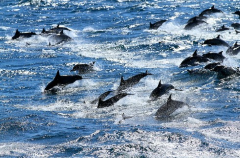 Pod-of-dolphins-swimming.jpg