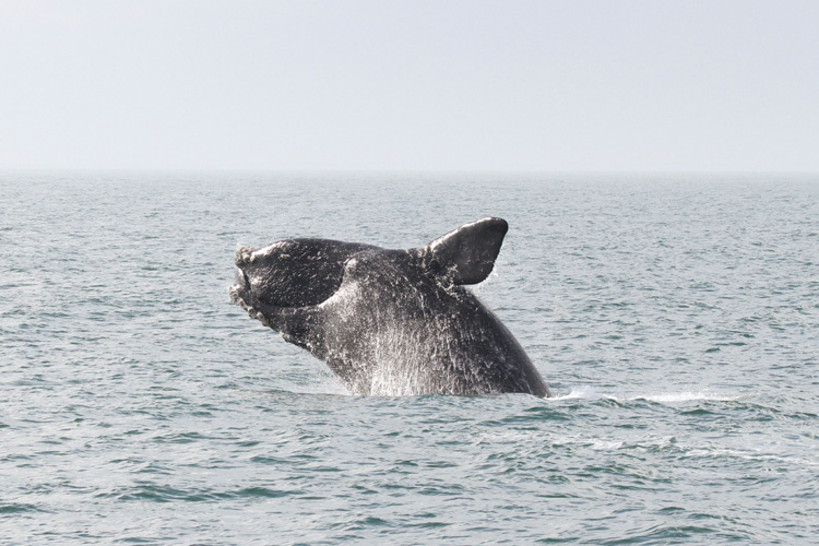 North Atlantic right whale - Photo credit NOAA fisheries