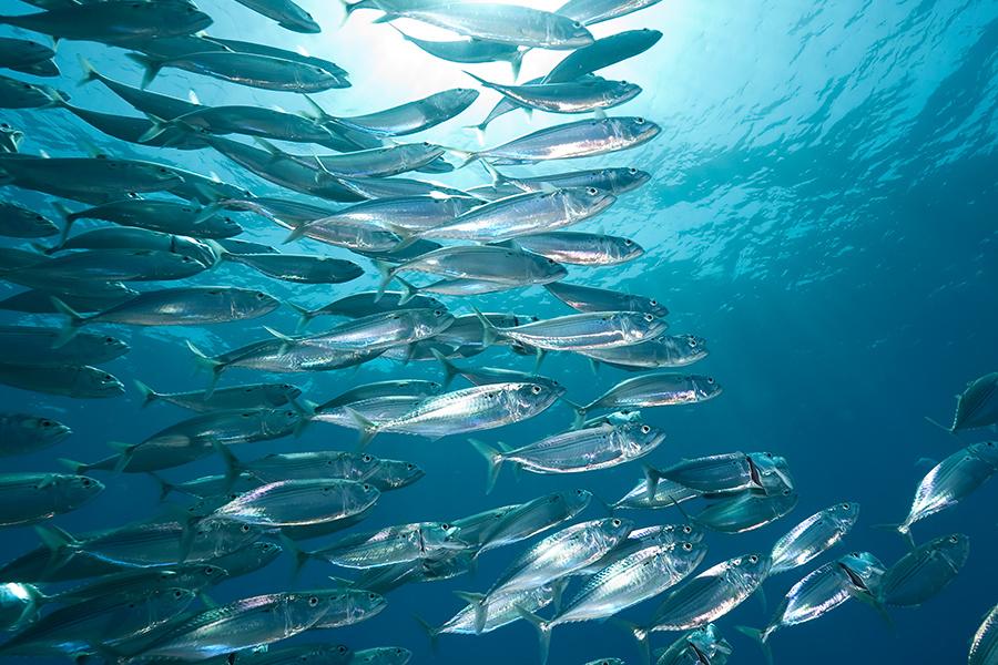 ATLANTIC mackerel - Photo credit NOAA fisheries