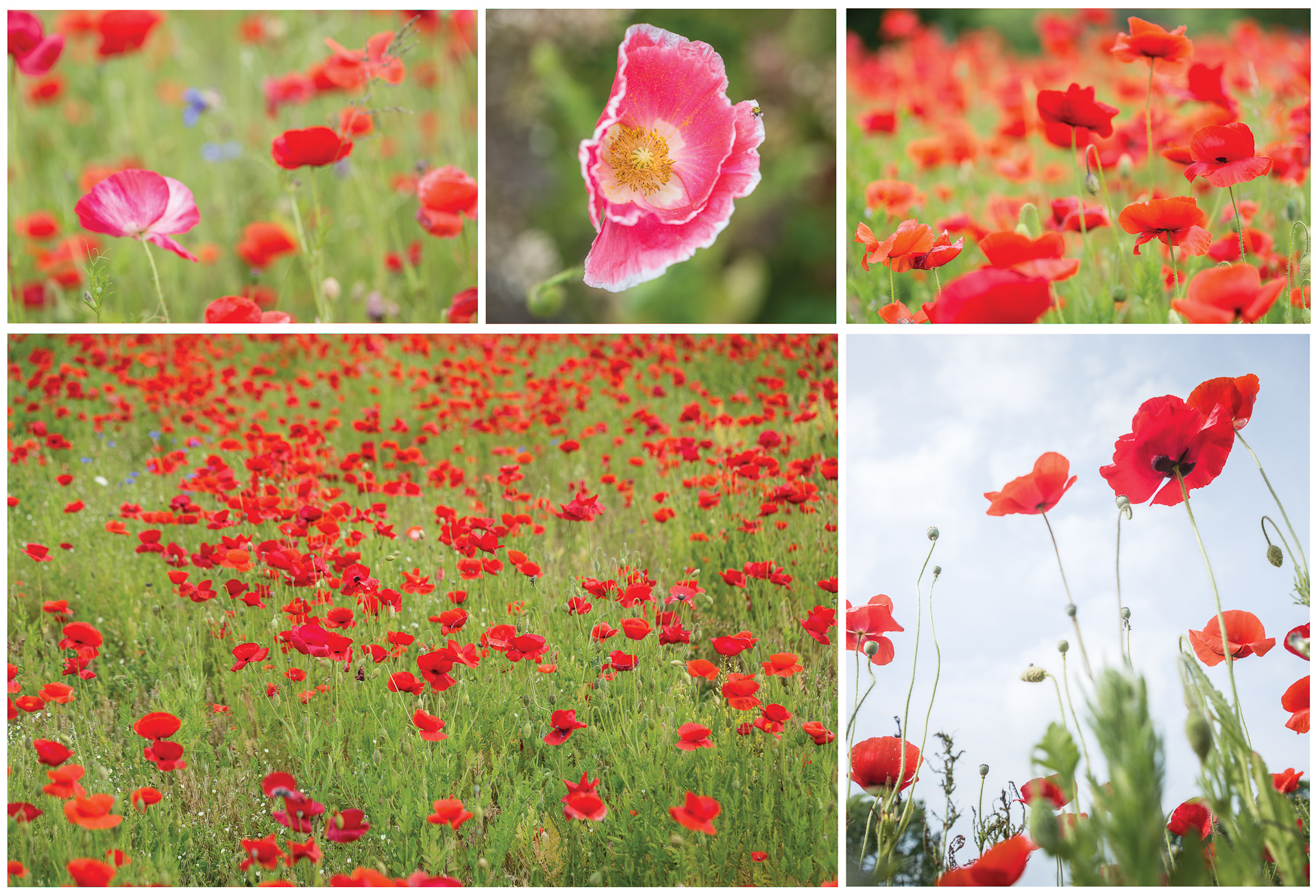 red-poppies-along-interstate-in-NC-Kathleen-Kathy-Roberts-Asheville-NC-Photographer-2.jpg