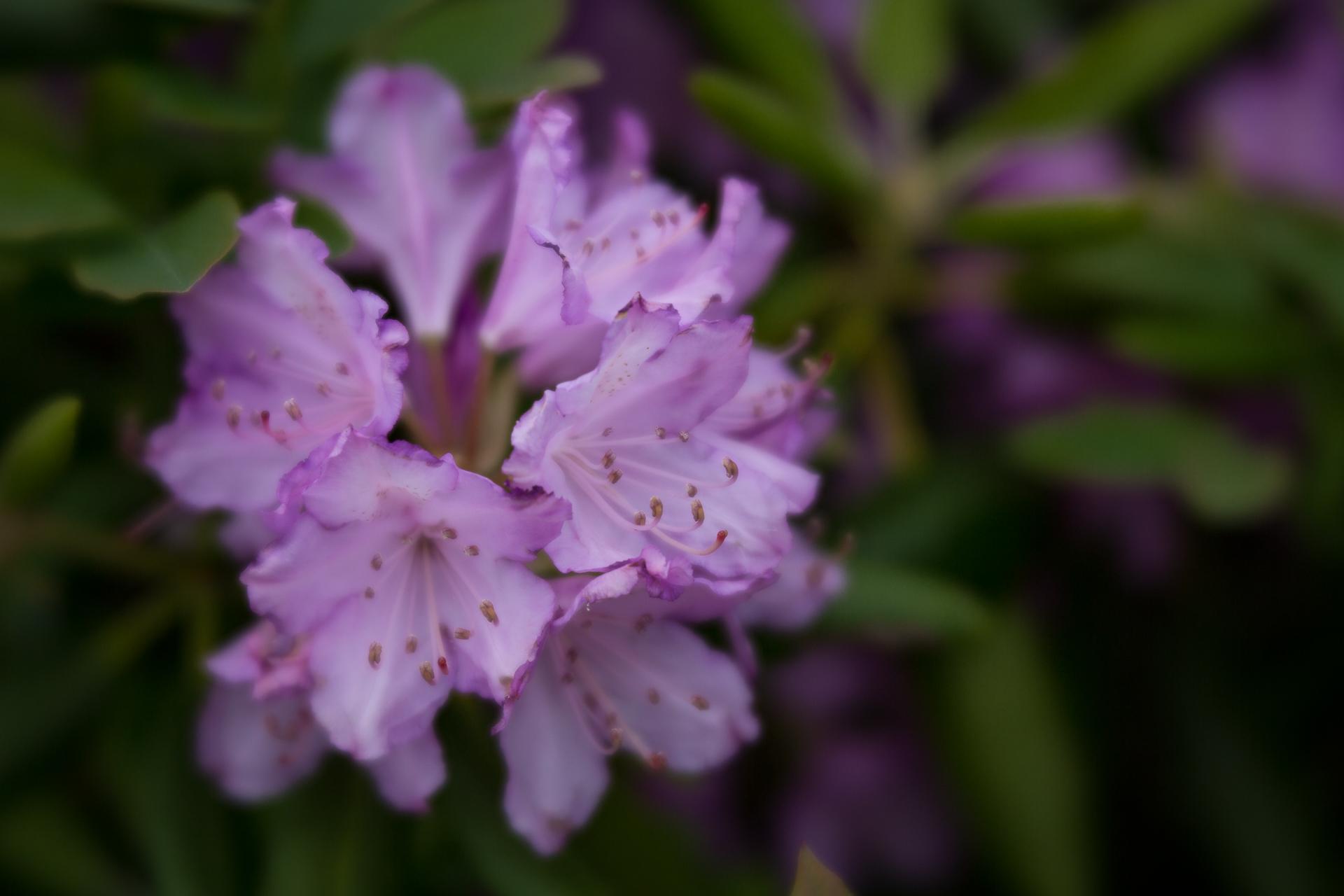 mountain-laurel-blooms-blue-ridge-parkway-mountains-Kathleen-Kathy-Roberts-Asheville-NC-Photographer-4.jpg