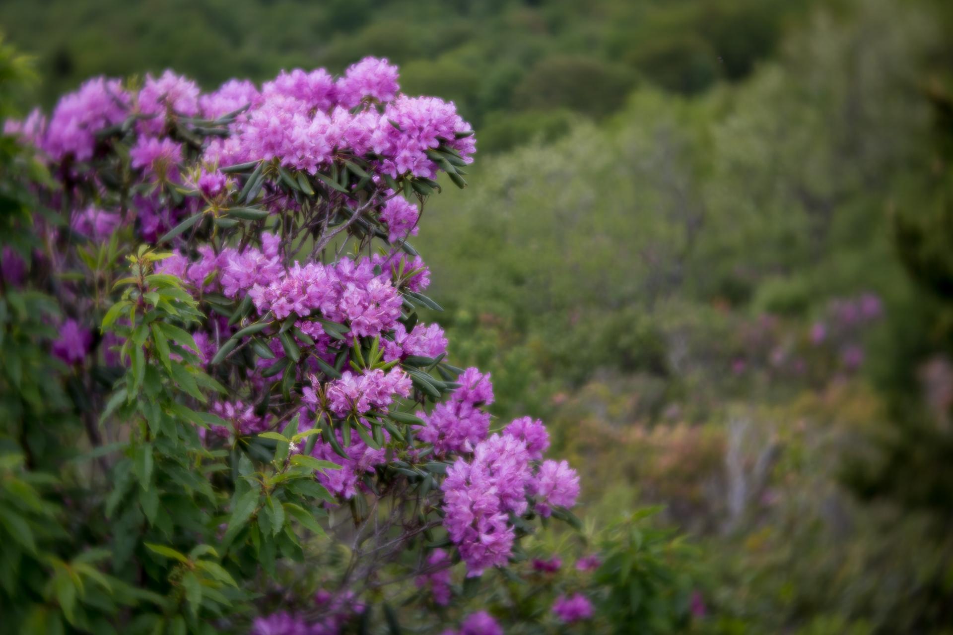 mountain-laurel-blooms-blue-ridge-parkway-mountains-Kathleen-Kathy-Roberts-Asheville-NC-Photographer-1.jpg