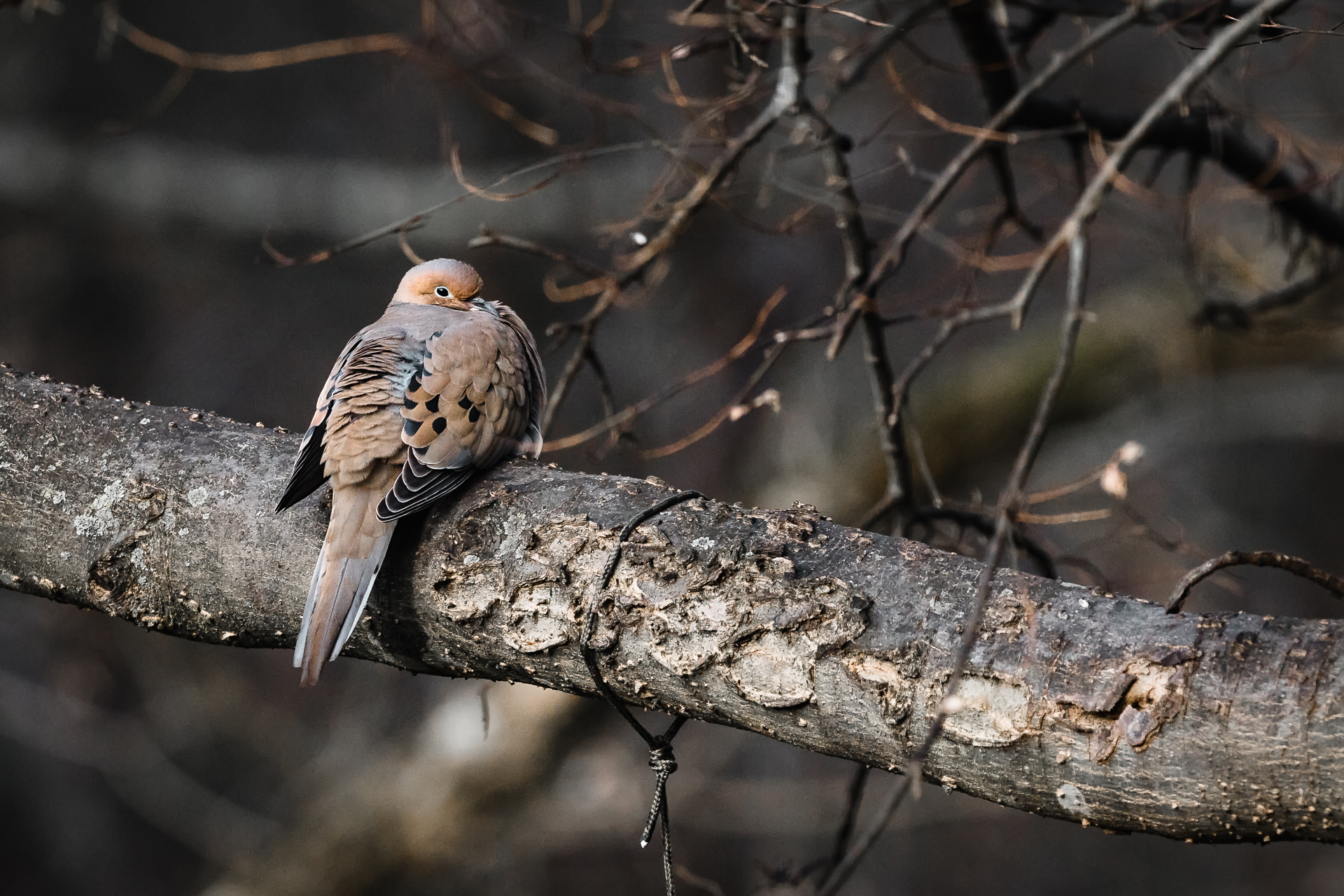 Morning-dove-sitting-in-a-tree-Kathleen-Kathy-Roberts-Asheville-NC-Photographer.jpg