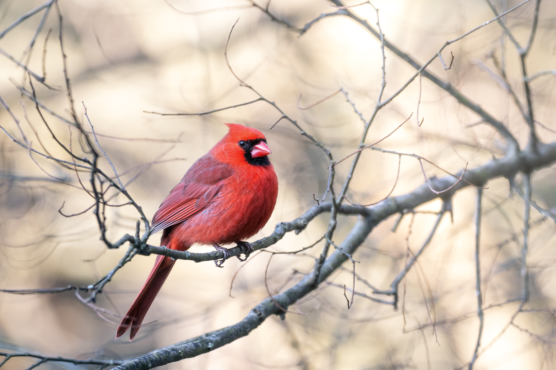Red-cardinal-sitting-in-a-tree-Kathleen-Kathy-Roberts-Asheville-NC-Photographer.jpg