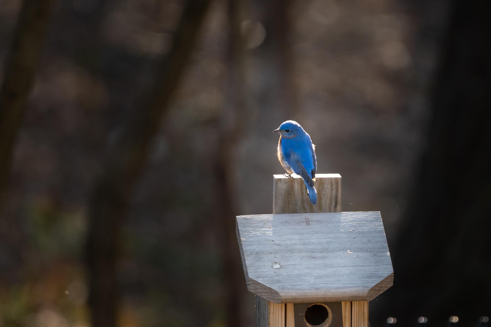 Blue-Birds-Making-Nest-Kathleen-Kathy-Roberts-Asheville-NC-Photographer-2.jpg