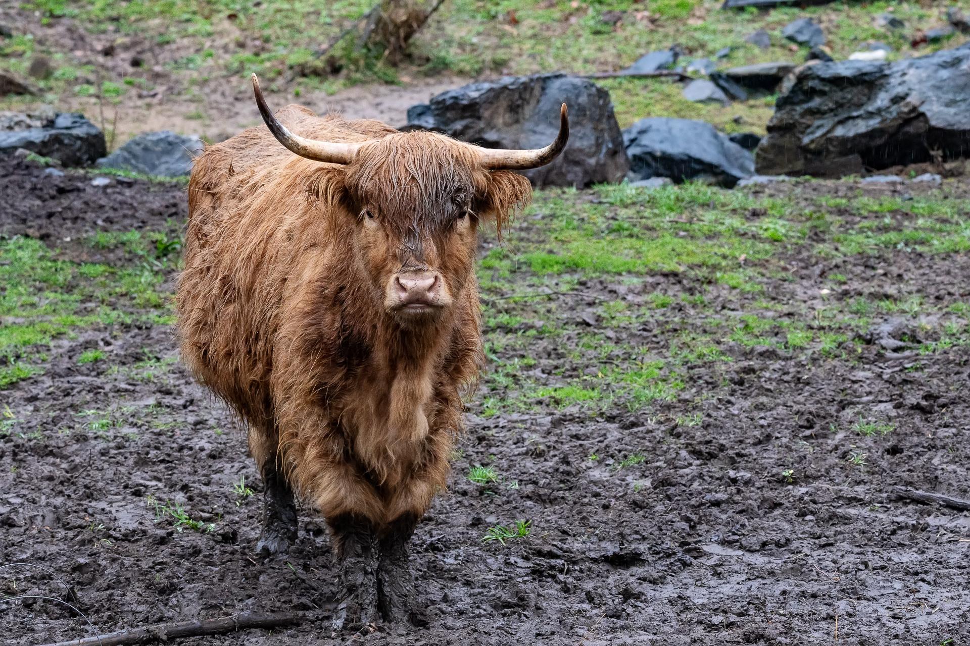highland-cattle-ox-creek-weaverville-farm-Kathleen-Kathy-Roberts-Asheville-NC-Photographer-1.jpg