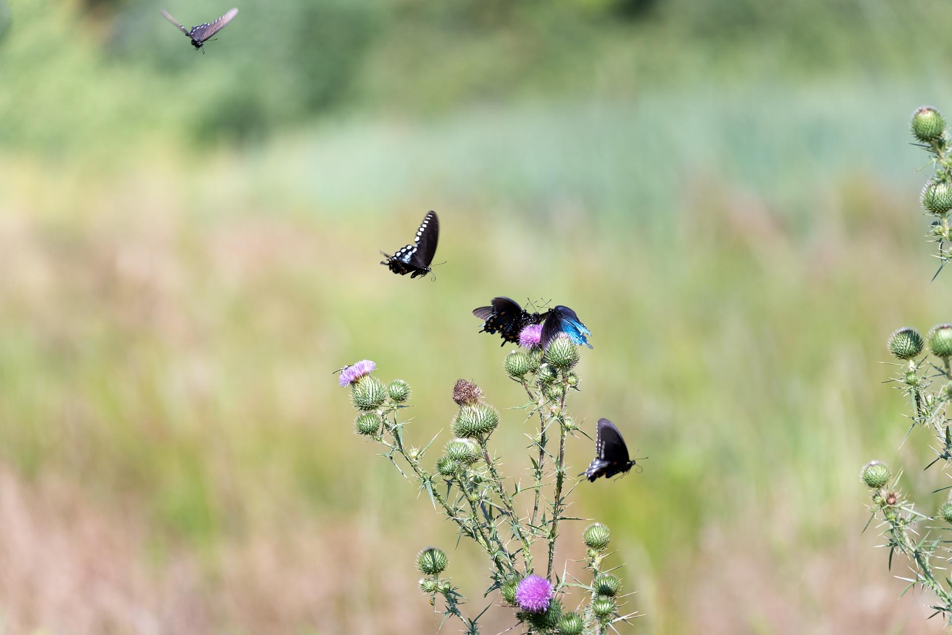 Butterflies-nature-Kathleen-Kathy-Roberts-Asheville-NC-Photographer-6.jpg
