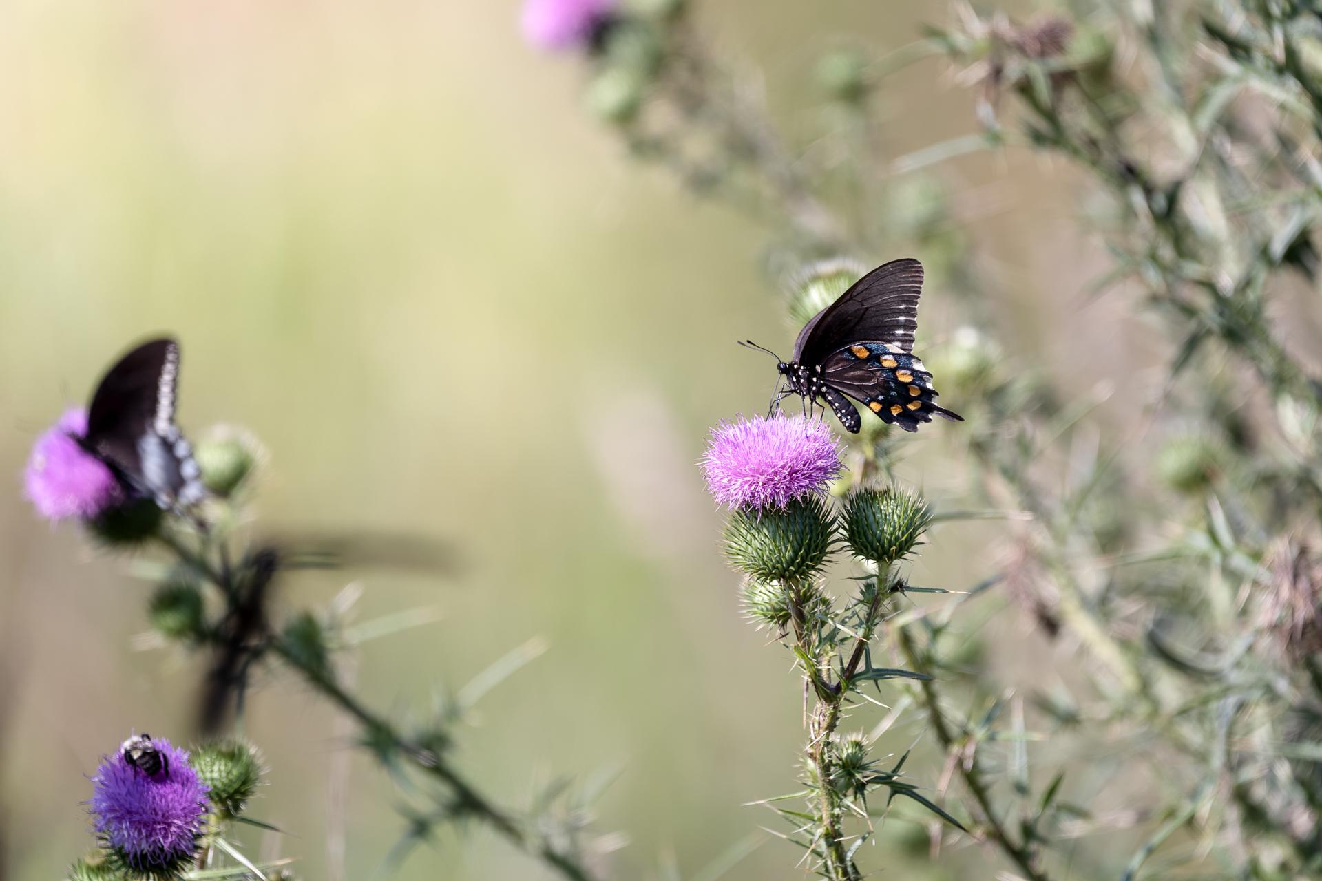 Butterflies-nature-Kathleen-Kathy-Roberts-Asheville-NC-Photographer-7.jpg