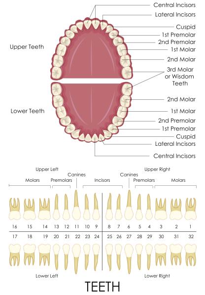 teeth count.png