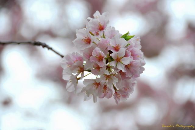 Bokeh effect on cherry flower