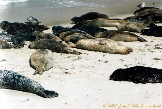 Seals-off-the-coast-of-California-2-.jpg