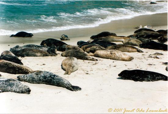 Seals-off-the-coast-of-California.jpg
