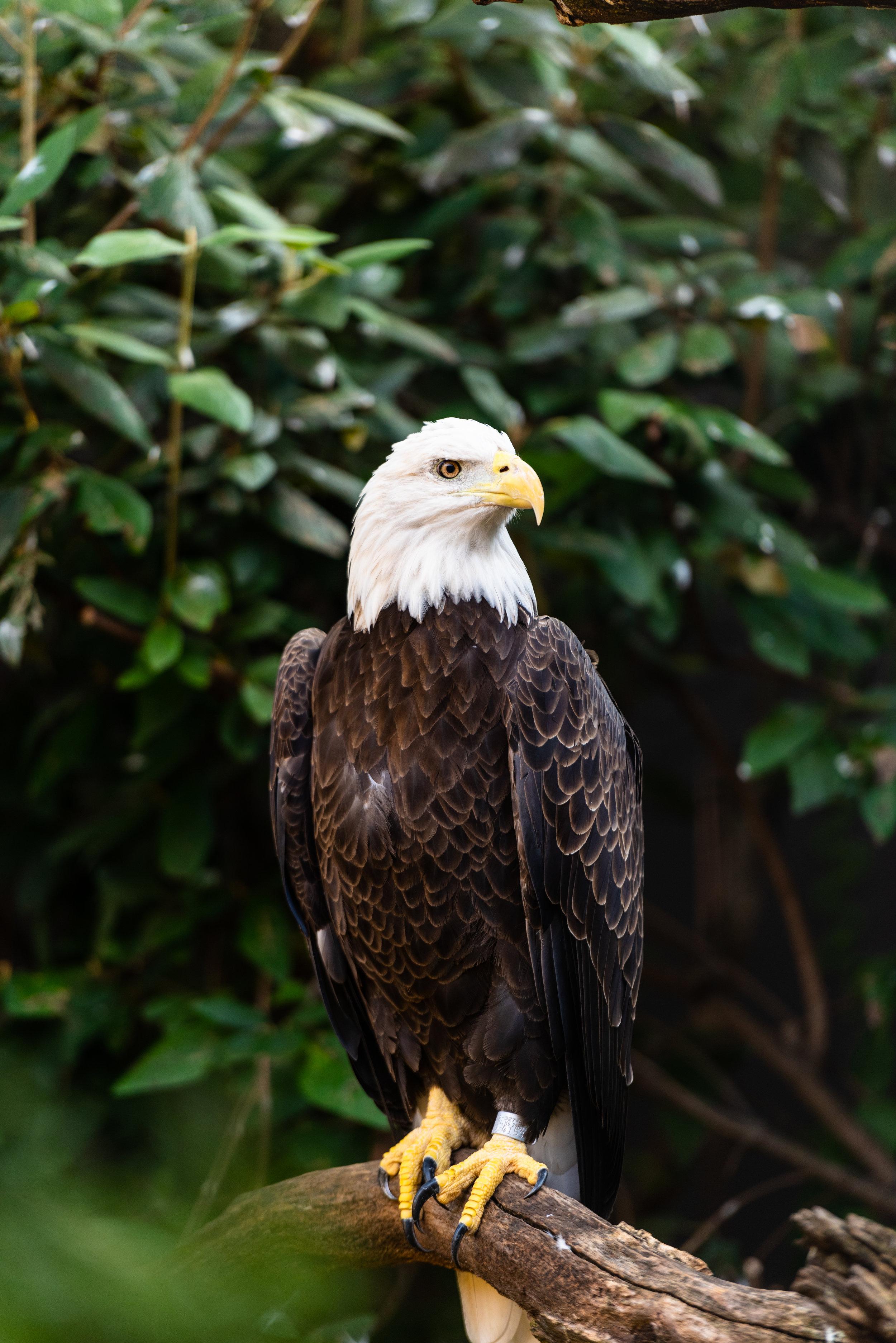Bald Golden Eagle.jpg