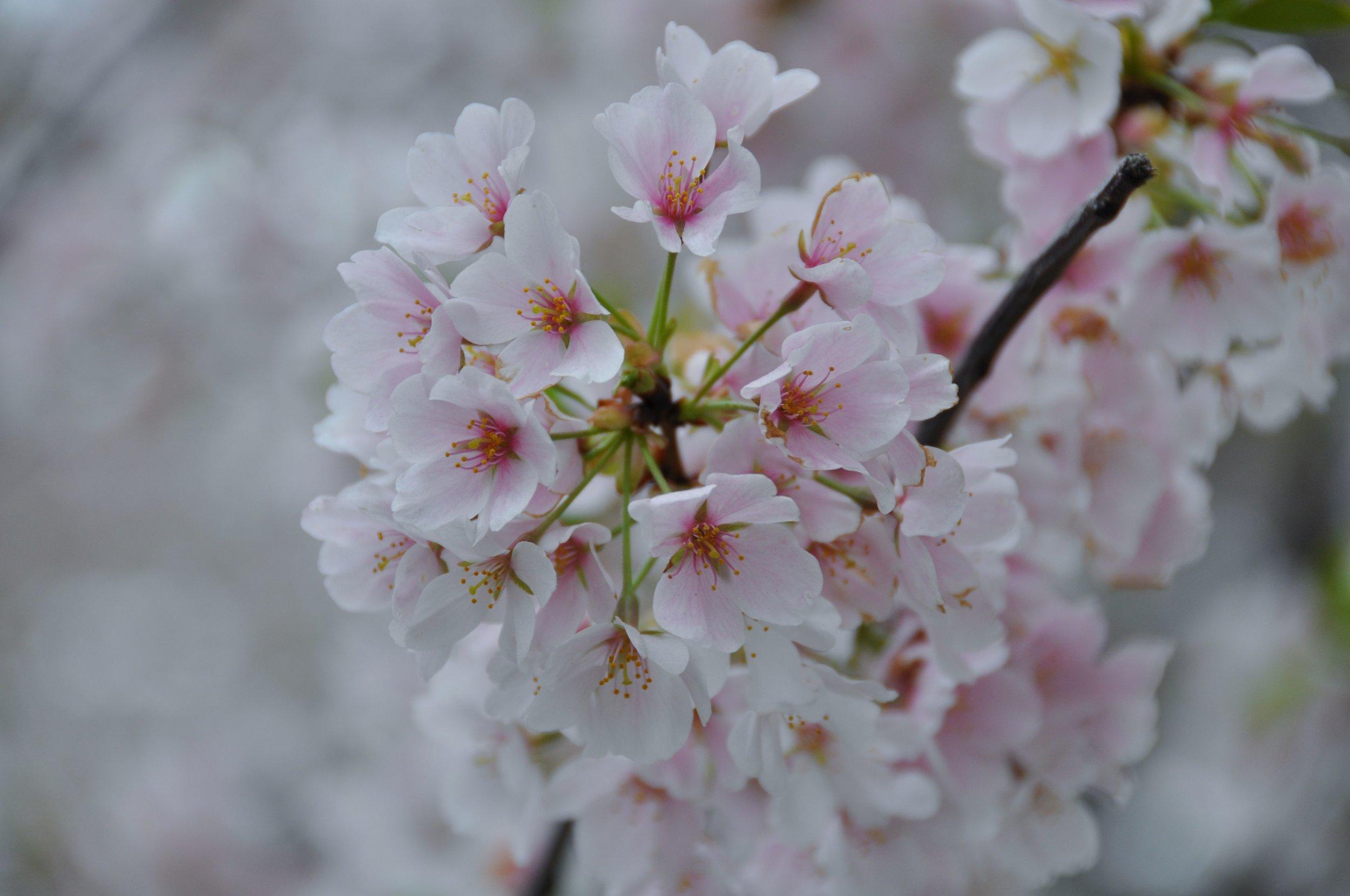 Cherry Flower.JPG