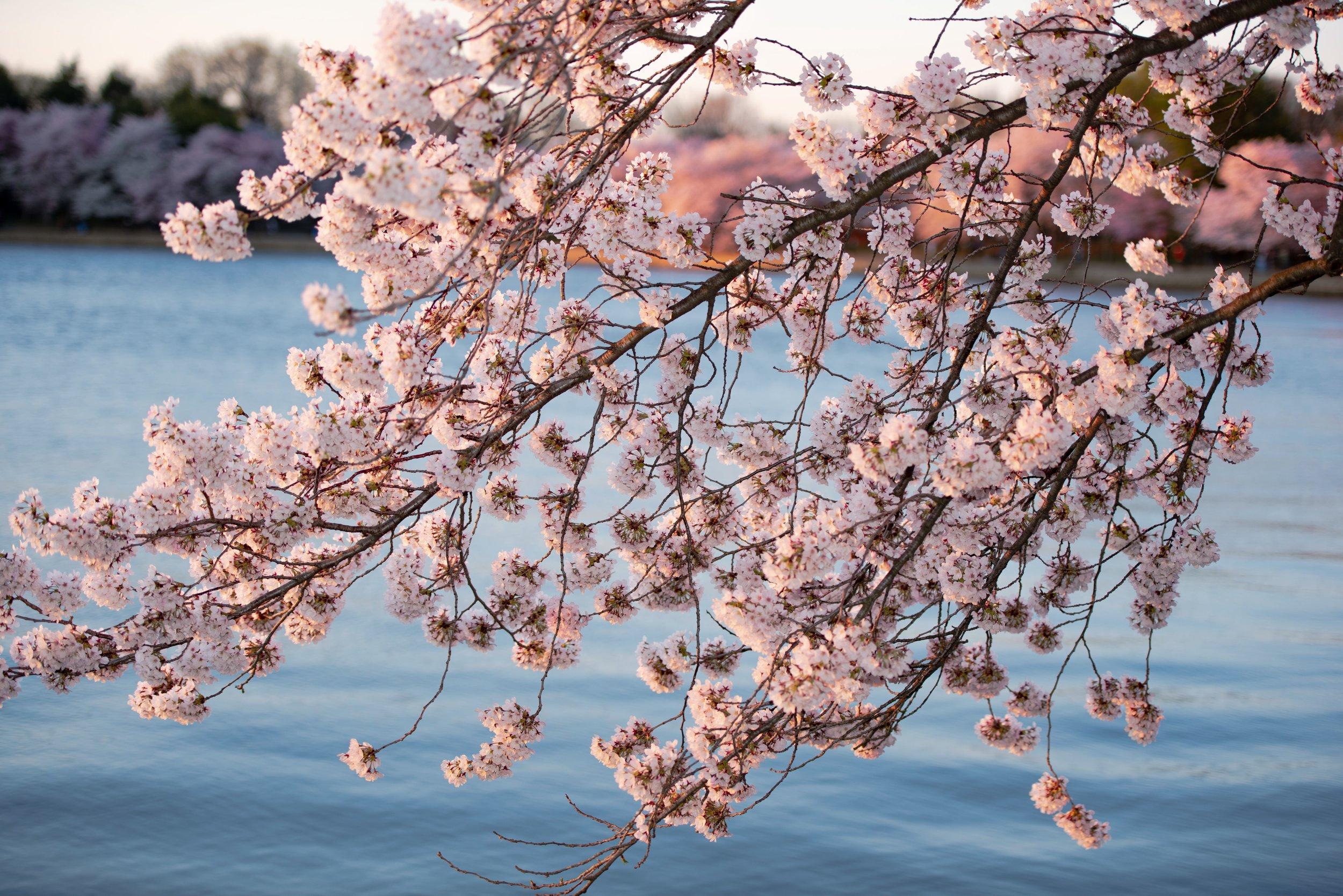 Cherry Tree Branch.jpg