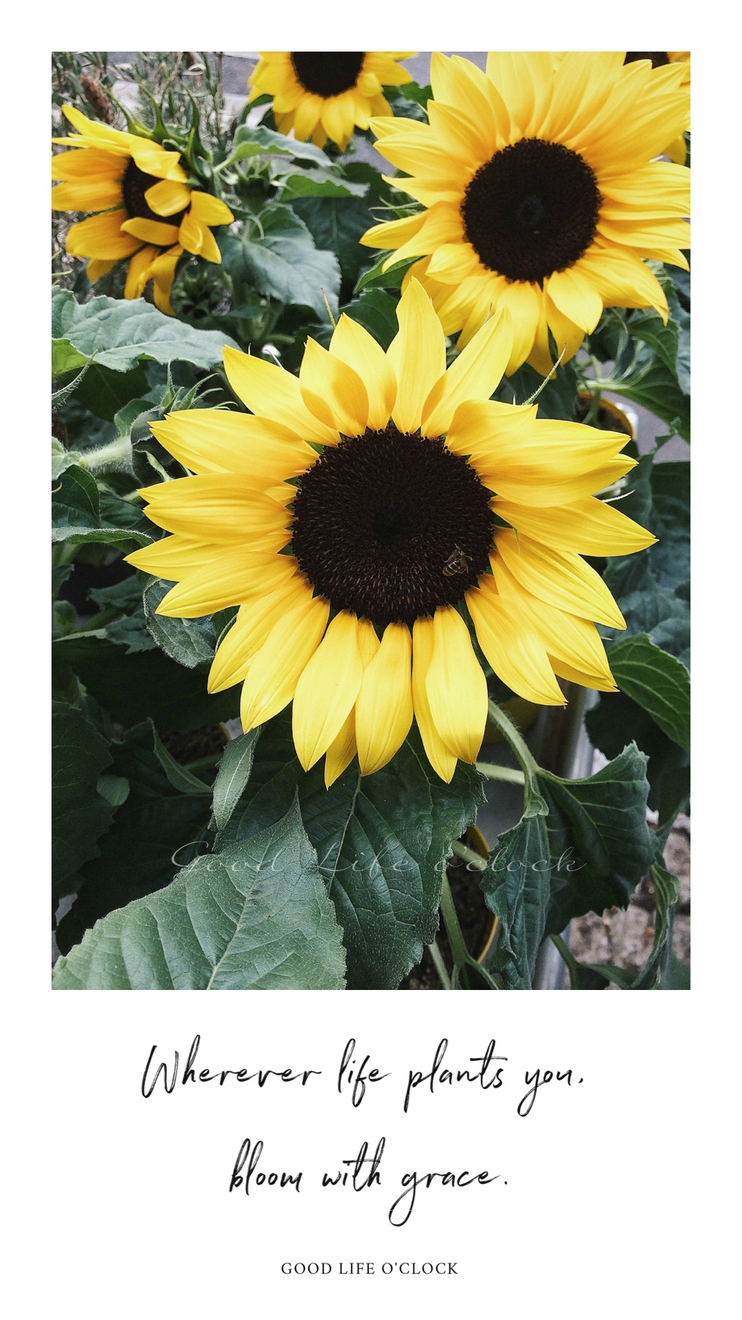 Life quote - Sunflower