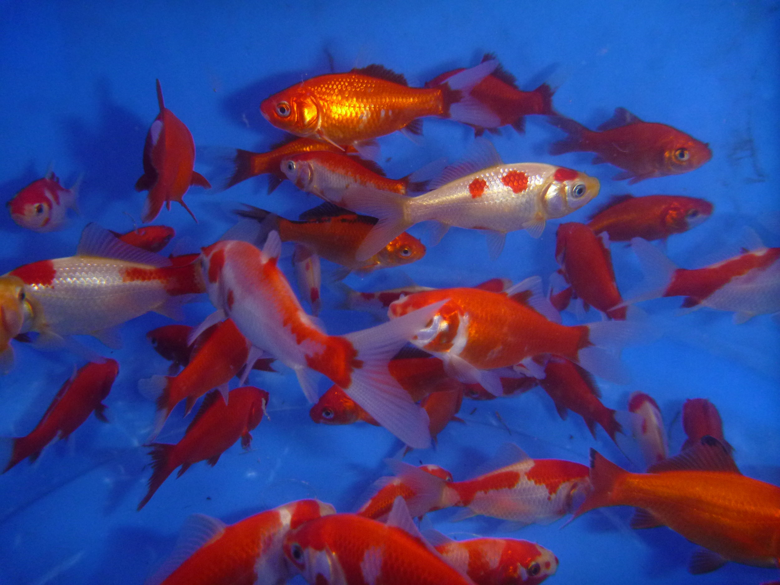 Hardy British Goldfish