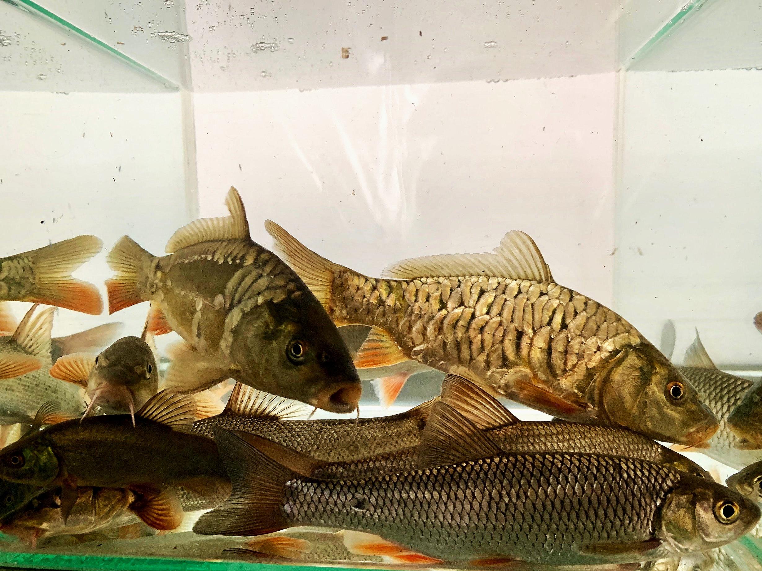 Mixed coarse fish