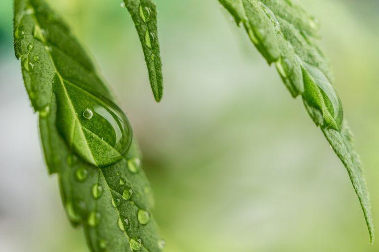 Detalj-cannabisblad-lisensfri.jpg