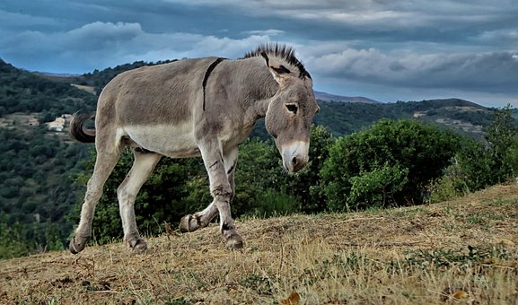 To understand the difference between horses and mules, you need to also understand a little about donkeys. Image via Pixabay; https://pixabay.com/photos/horse-mare-bridle-animal-ride-3390256/