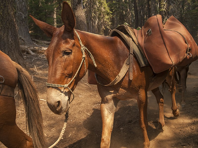 Mule doing the task it is well known for; working. Image via wikicommons; https://commons.wikimedia.org/wiki/File:Pack_Mule_in_the_Forest_(16373923491).jpg