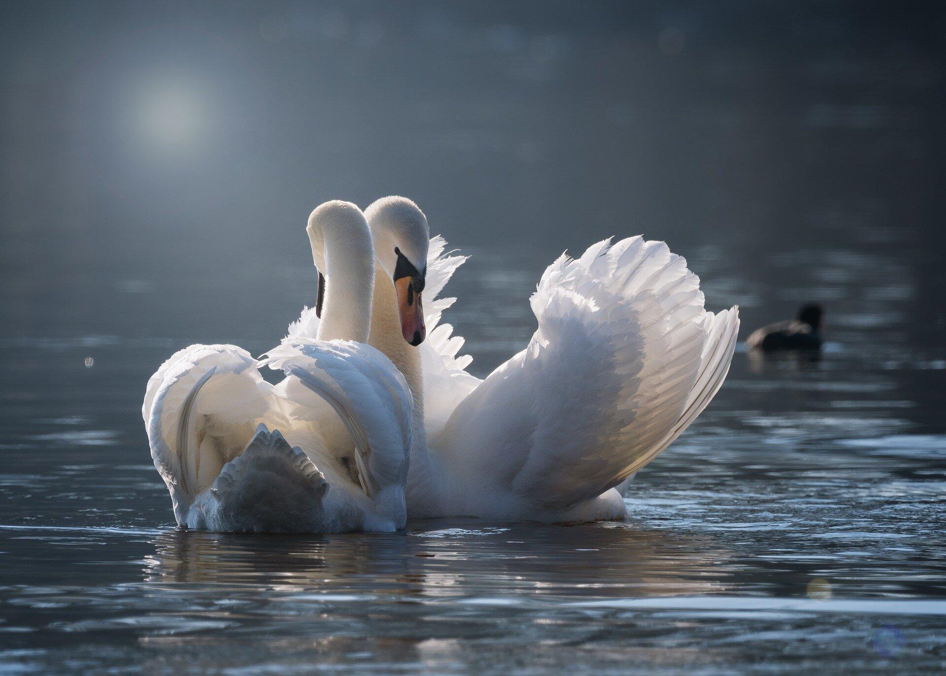 swan-4013225_1920.jpg
