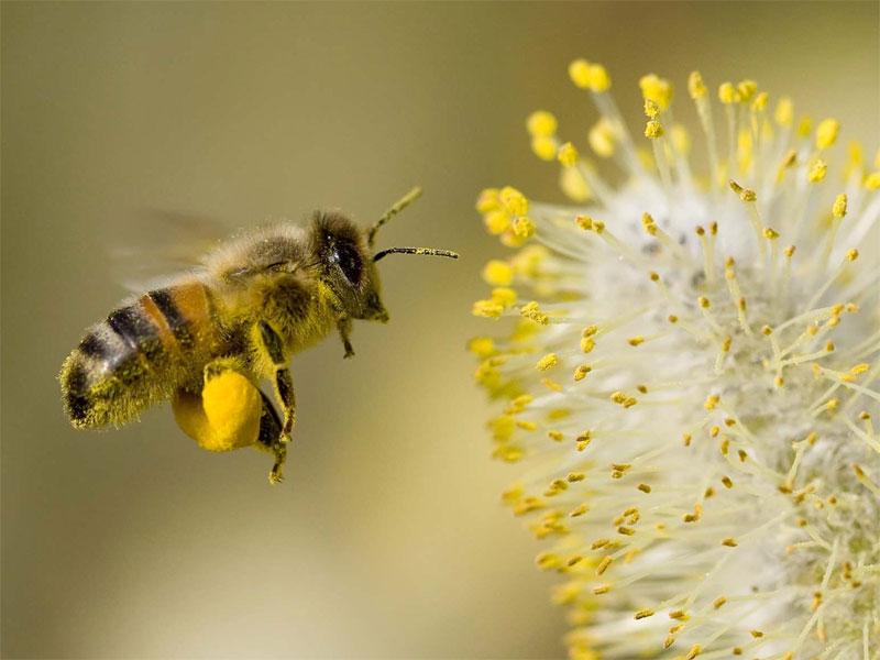 bee-collecting-pollen-600h.jpg