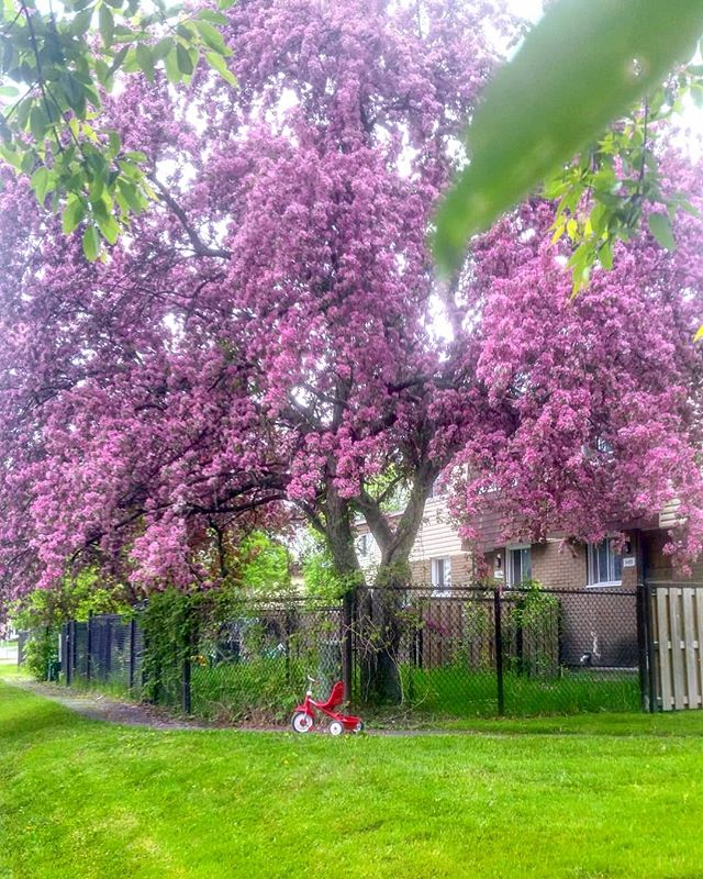 Cutting grass in th Godswood.  #got #ottawa #ottcity #hintonburg #myottawa #ottawalife #613 #yow #landscaping #lawncare #yardwork #gng #grass #instagood #photooftheday #hardwork #dailygrind #spring #gameofthrones #weirwood #oldgods #tree #trees #colour #pink #nature