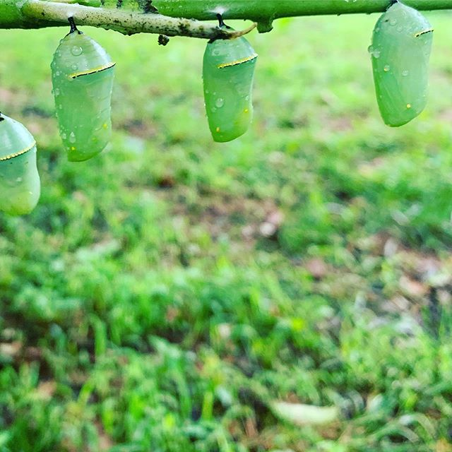 Embrace change! (All the cool kids are doing it 🐛🦋). It's pupae season, and we have monarch butterfly pupae and a limited number of Spicebush Swallowtail butterfly pupae available for sale!  Monarch pupae: $4 each Spicebush Swallowtail pupae: $9 each.  Small pop-up habitats are available for $8 and 12x12x12 habitats are available for $12.  The 12x12 habitats are definitely recommended for the Spicebush Swallowtail pupae and also for monarchs, particularly if you purchase multiple chrysalides or do not plan to release your butterfly(s) immediately.