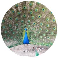 Circles_peacock_Q_A.jpg