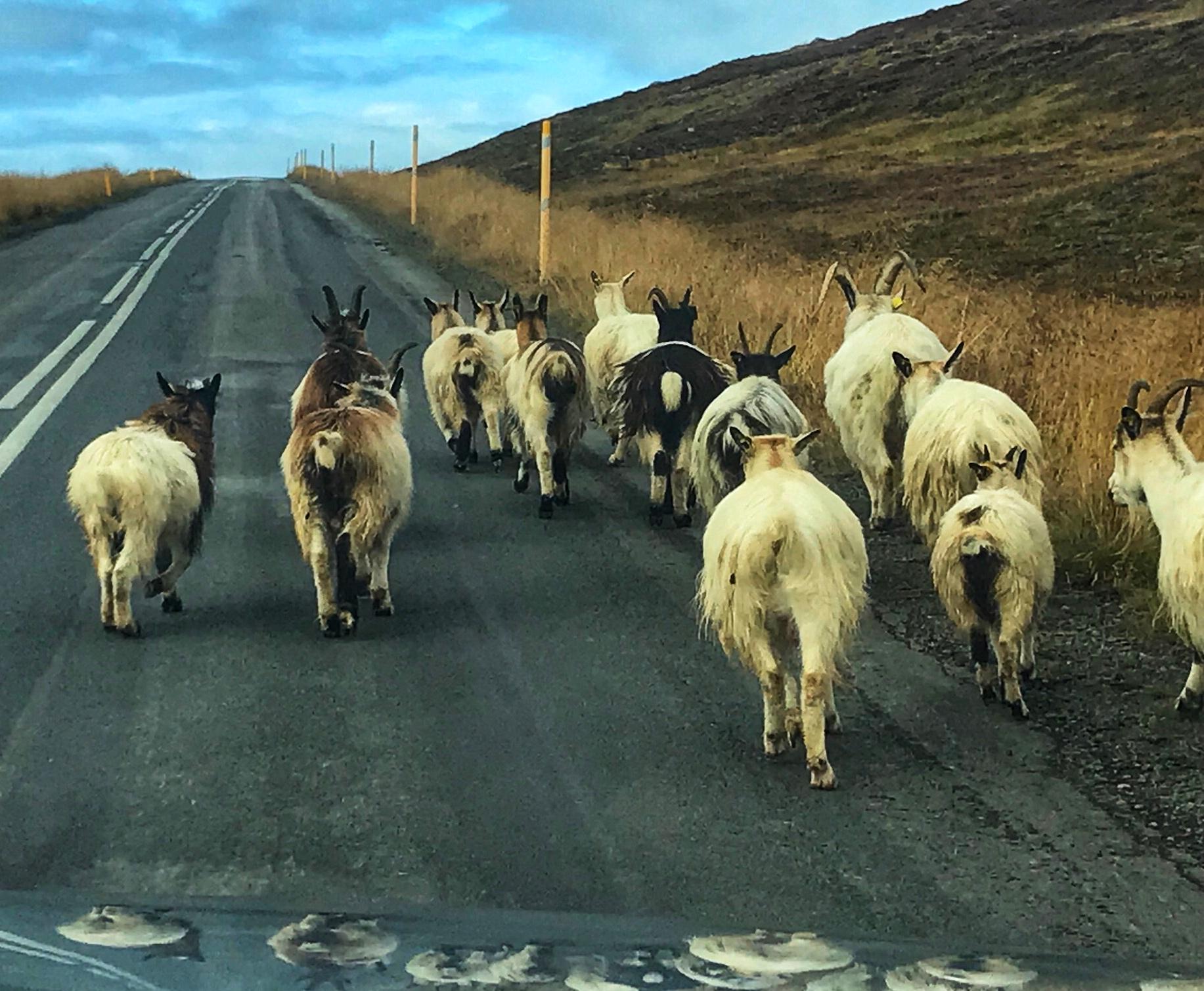 Icelandic traffic jam (2018)