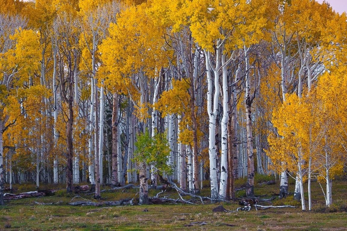 Silver+Birch+Tree+-+Betula+Pendula+00.jpg