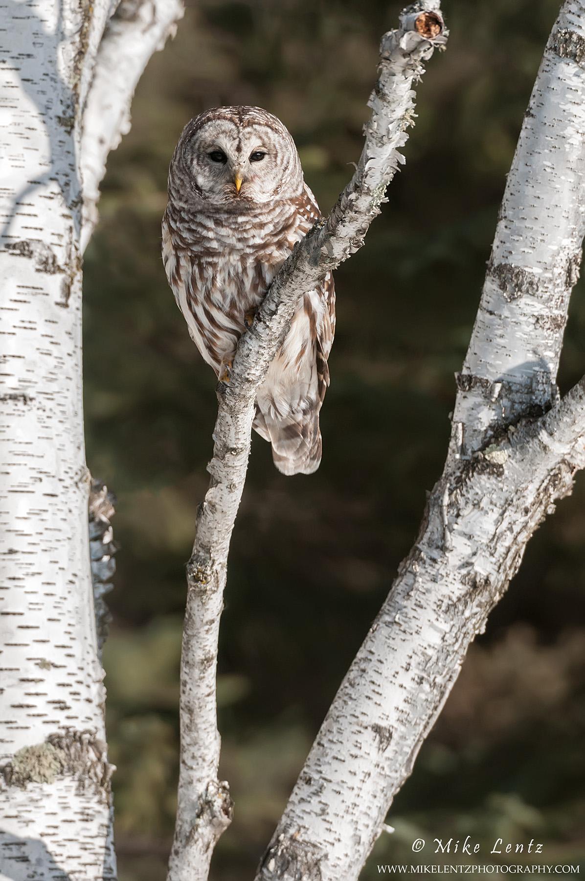 Barred-Owl-birch-portrait.jpg