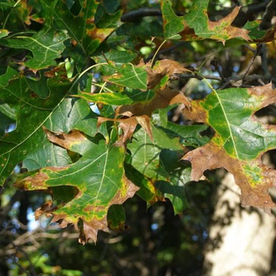 oak-wilt.jpg