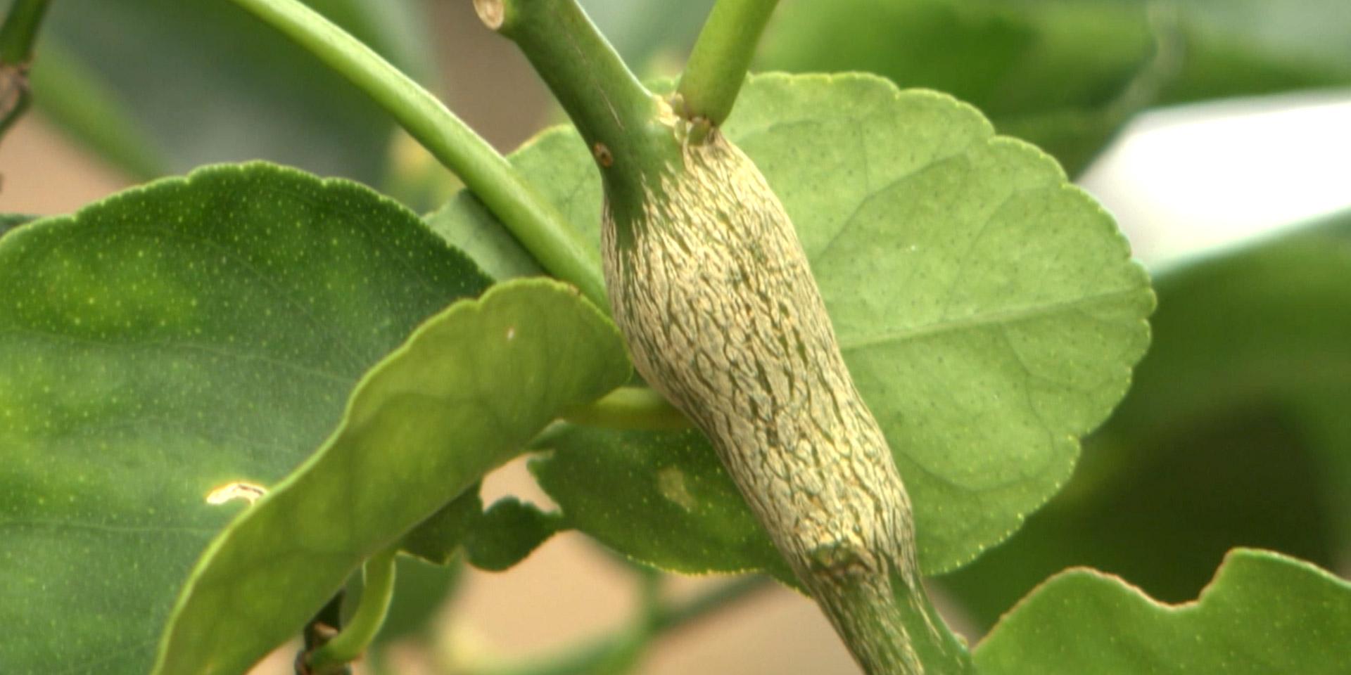 citrus-gall-wasp.jpg
