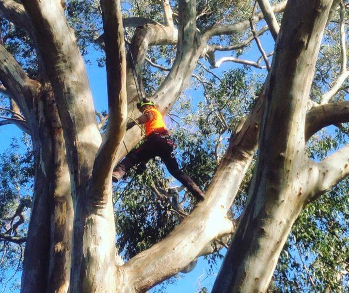 The Tree Trimmers - Box Hill Tree Pruning Eddie