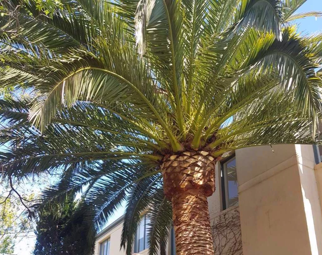 The Tree Trimmers - Malvern Palm Tree Pruning Maintenance