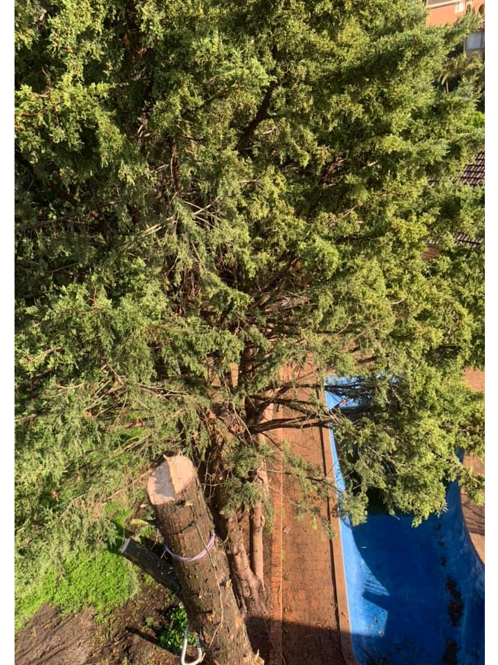The Tree Trimmers - Big Pine Tree Removal - Eddie - Glen Waverley - Confined space.png