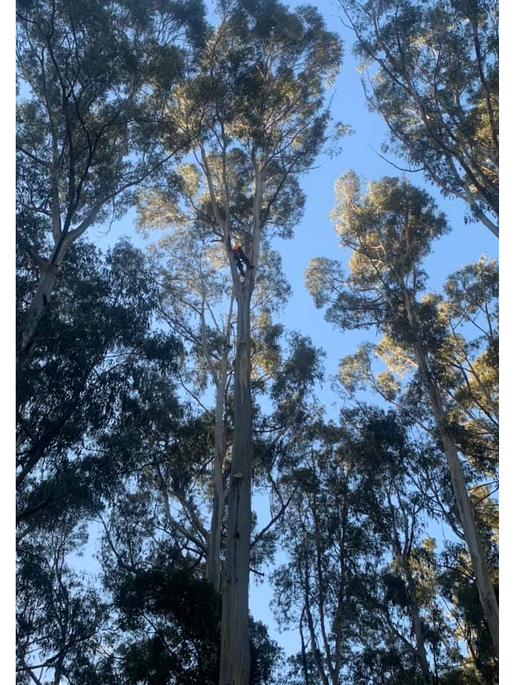 The Tree Trimmers - Large Eucalypt Tree Removal - Eddie - Selby.png