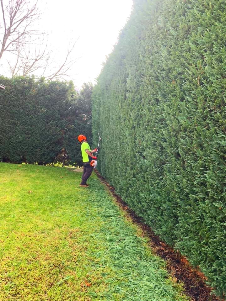 The Tree Trimmers - Hedge Pruning Job in St Kilda