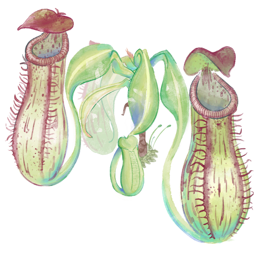 nepenthes.jpg