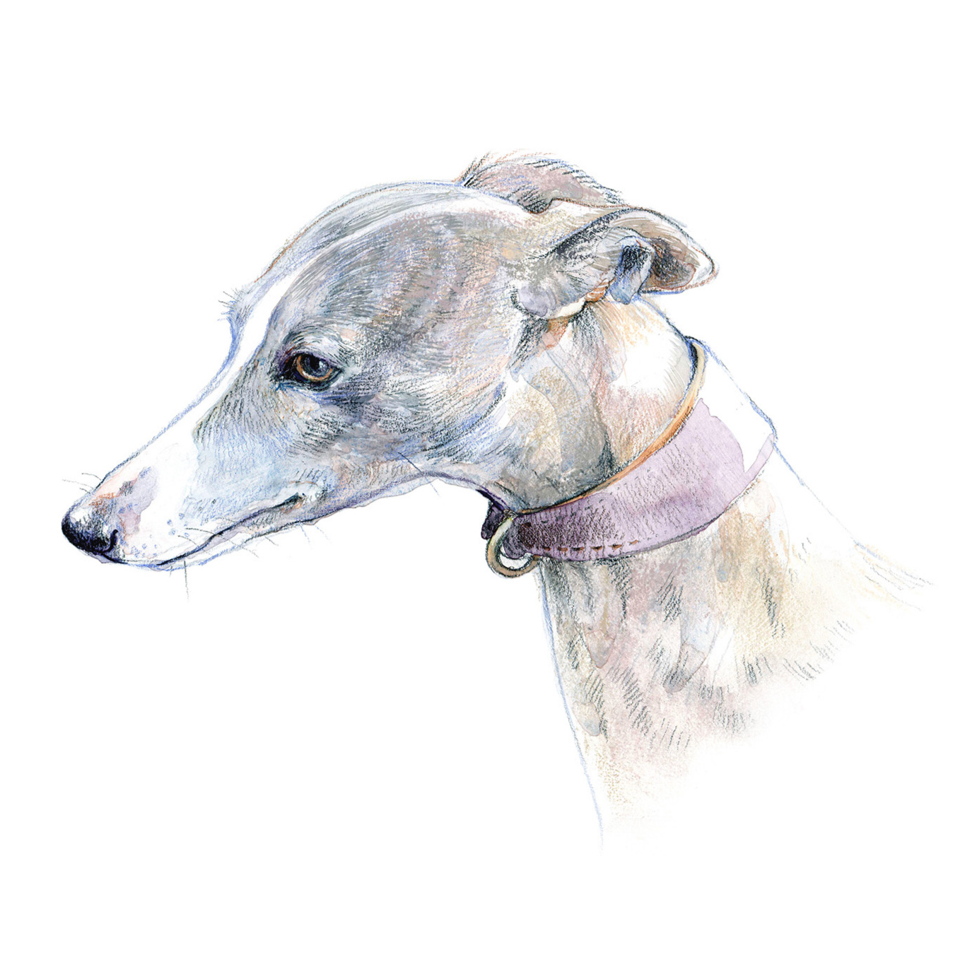 Gentle and patient. A whippet portrait