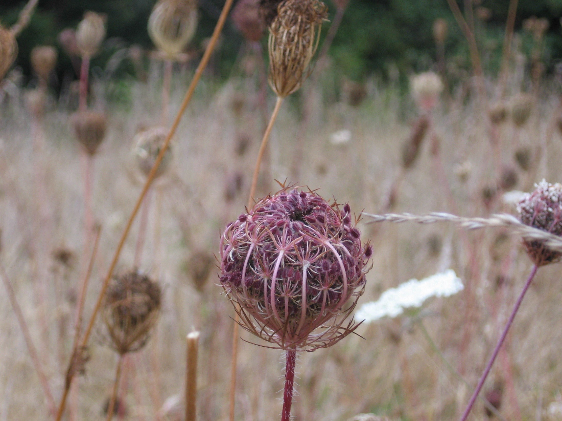 Engaging the Life Force: Wild Carrot and Contraception - June 21-23Green Gathering